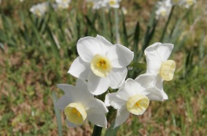 Jonquil_flowers_at_f32